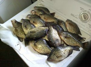 Chautauqua Lake Black Crappie.
